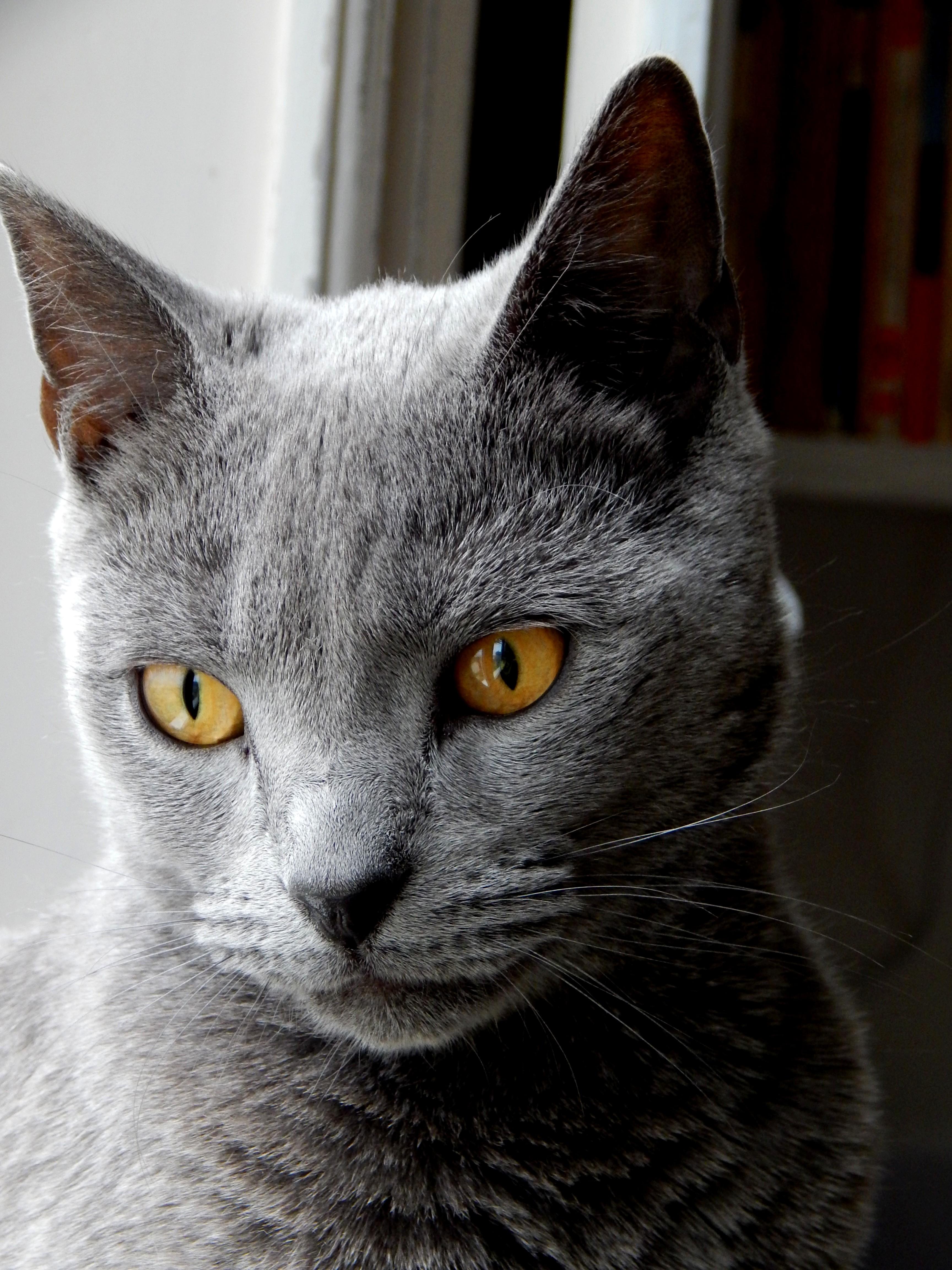chat chartreux_faraon