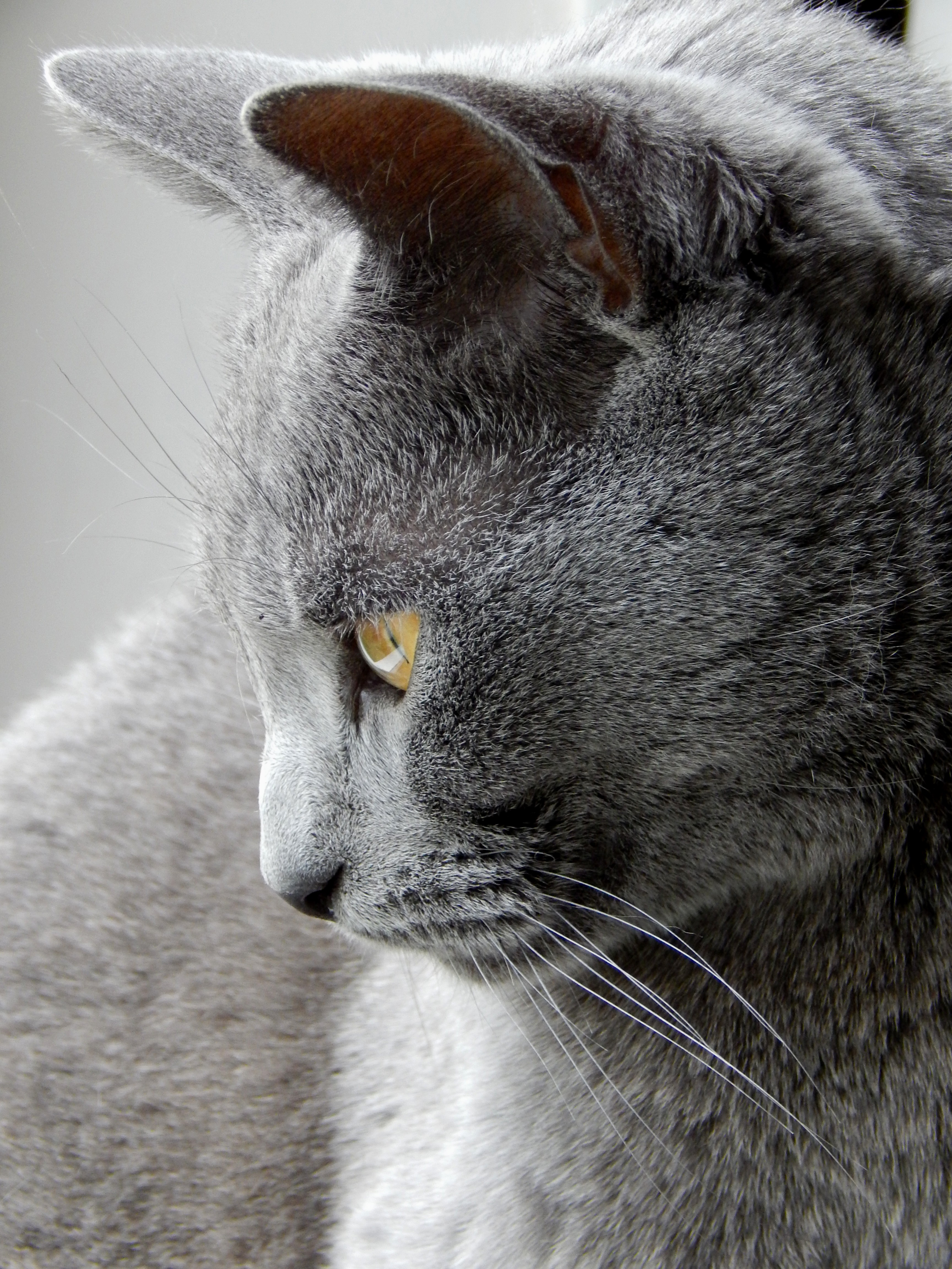 profil chat chartreux
