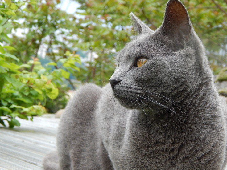 chat chartreux 2.JPG